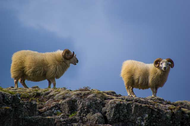 Merino wool sheep